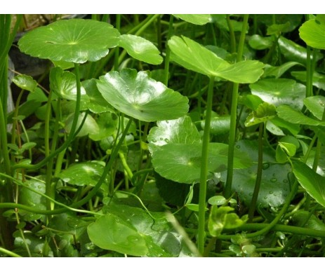 'Hydrocotyle Bonariensis'