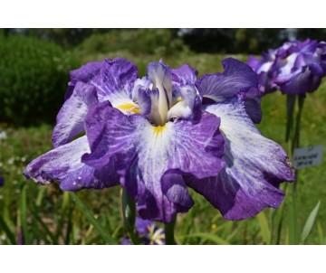 Iris Ensata 'Cascade Spice'
