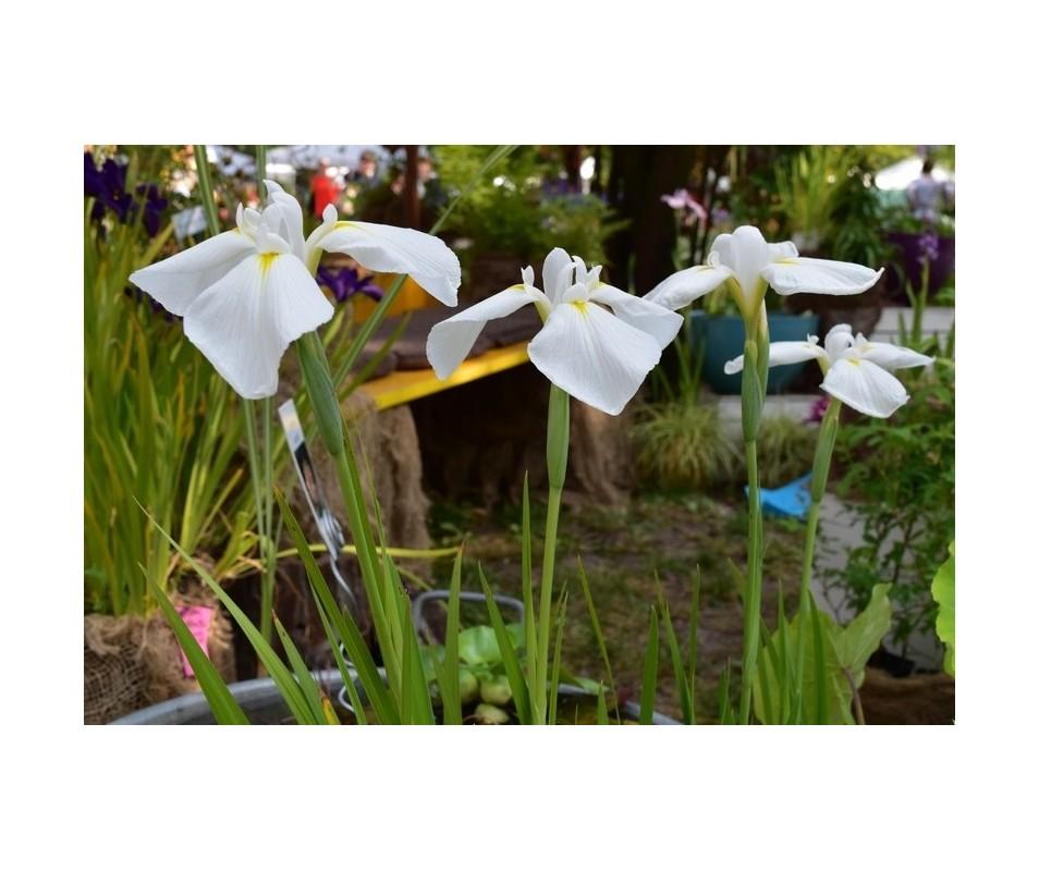 Iris Ensata 'Diamant'