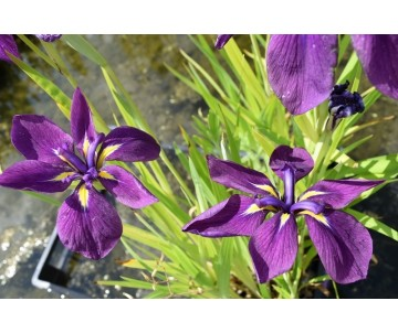 Iris Ensata 'Double Purple'