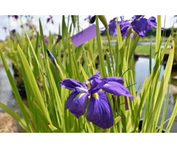 Iris Ensata 'Double Violet'