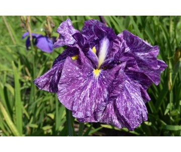 Iris Ensata 'Dragon Tapestry'