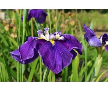 Iris Ensata 'Hercule'