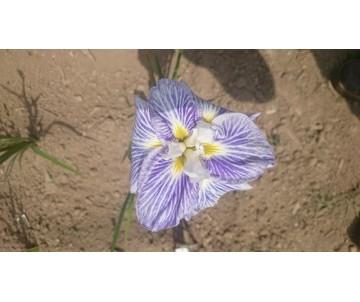 Iris Ensata 'Peasant Starburst'