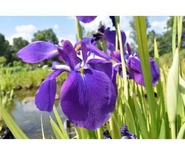 Iris Ensata 'Simple Violet'