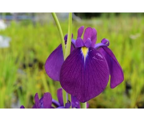 Iris Ensata 'Spontanea'