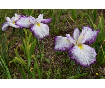 Iris Ensata 'Summer Splash'