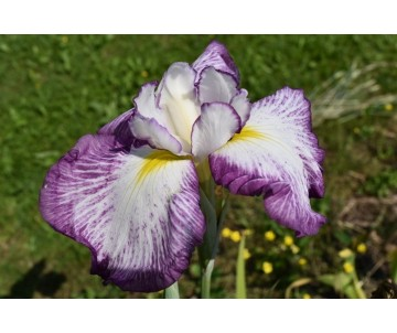 Iris Ensata 'Summer Splash'