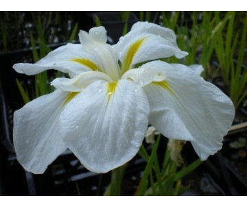 Iris Ensata 'White Lady'