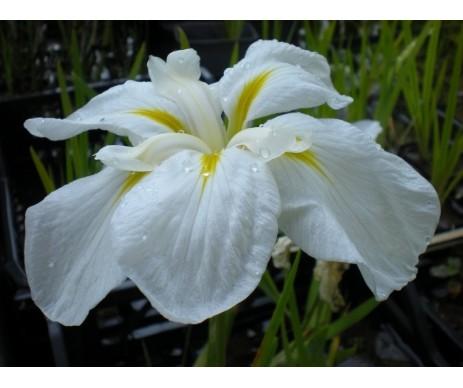 Iris Ensata 'White Lady'