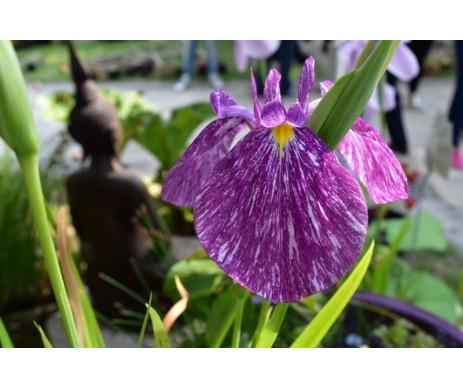 Iris Ensata 'Ibrido 3'