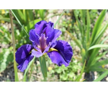 Iris Louisiana 'Beale Street'