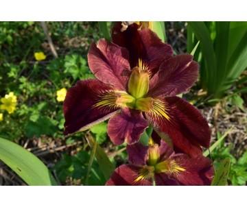 Iris Louisiana 'Bold Pretender'