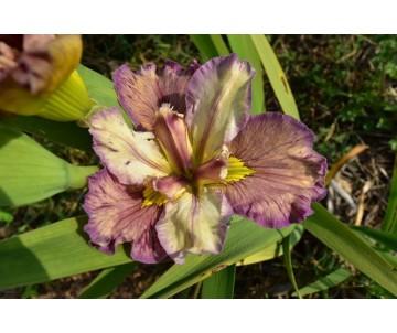 Iris Louisiana 'Cherished One'