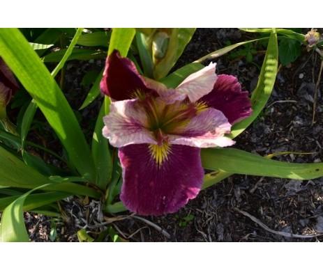 Iris Louisiana 'Creole Rapsody'