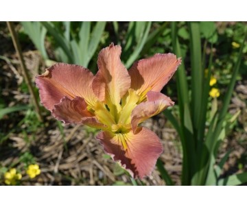 Iris Louisiana 'Duck Lady'