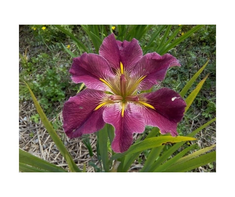 Iris Louisiana 'FAC McCulla'