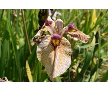 Iris Pseudata 'Yarai'