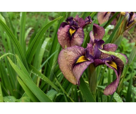 Iris Pseudata 'Yasha'