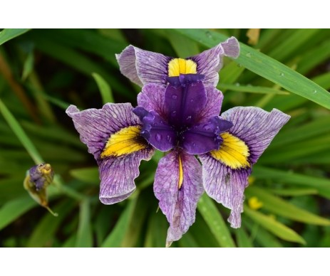 Iris Pseudata 'Yotsugi'