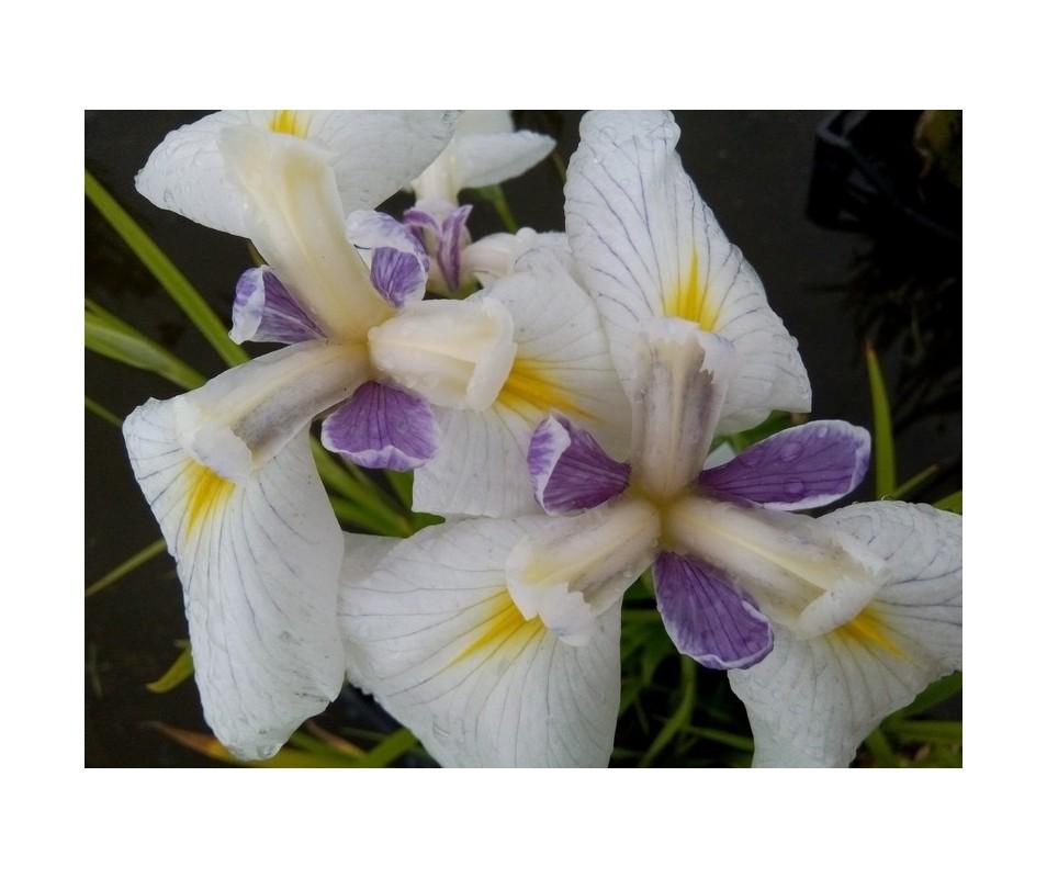 Iris Ensata 'Ibrido 1'
